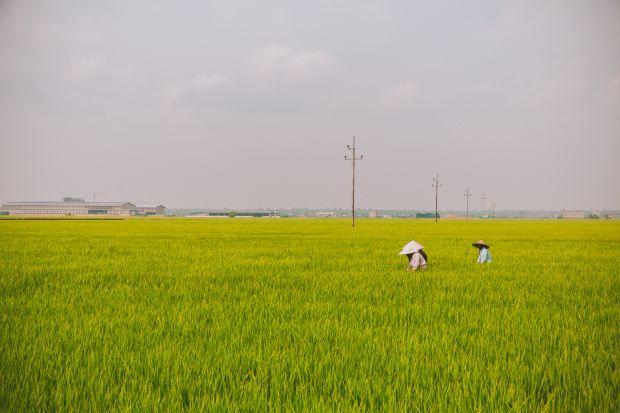 sekinchan paddy field